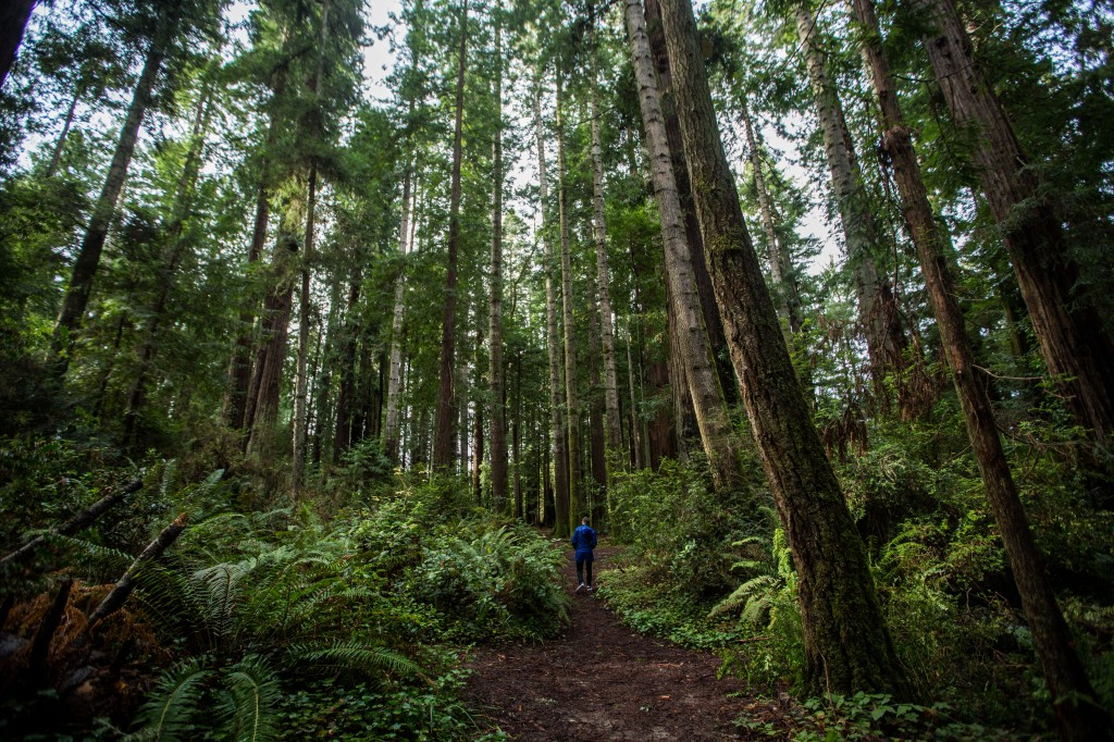person walks through a redwood forest